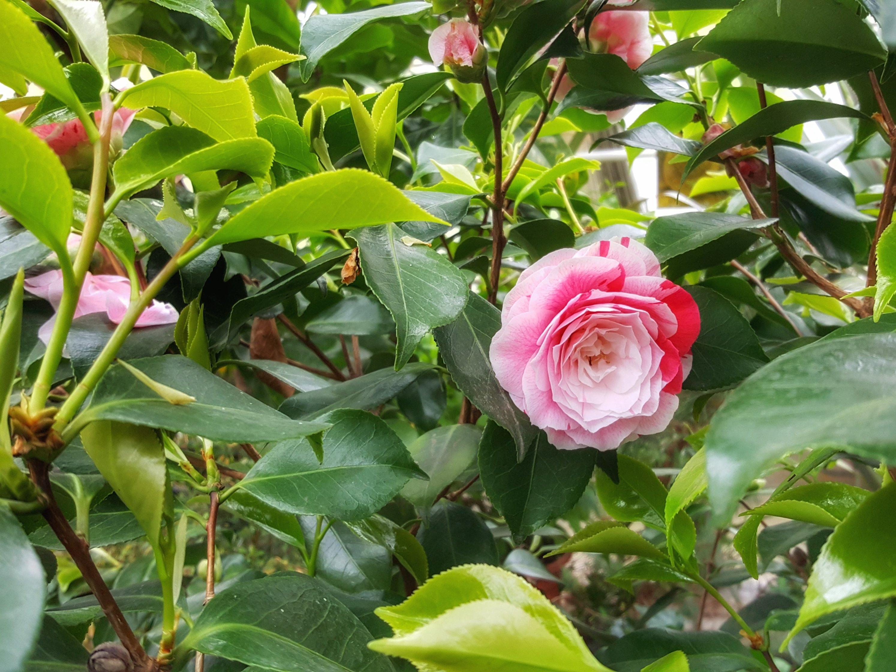 flower rose pink botanic garden finland