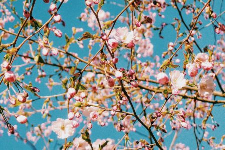Spring Tallinn Cherry Blossom
