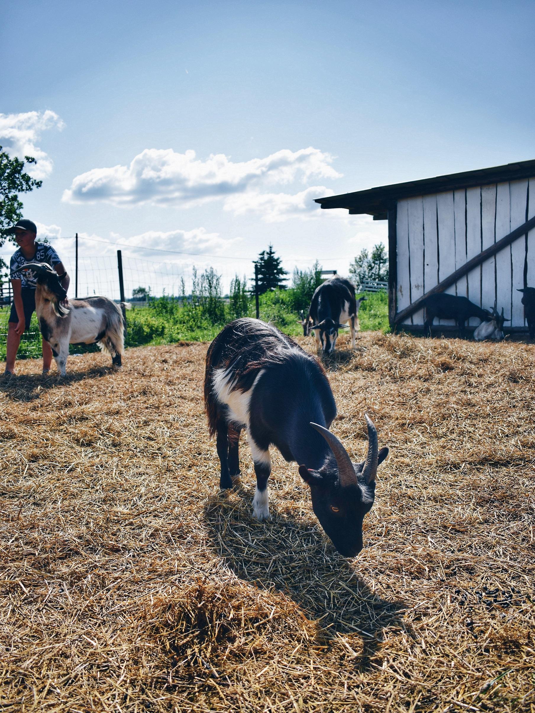 Alpaca Farm Pärnu Estonia